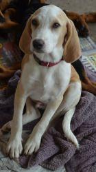 Adopt Jinx On Petfinder Beagle Dog Rescue Dogs Adoptable Beagle