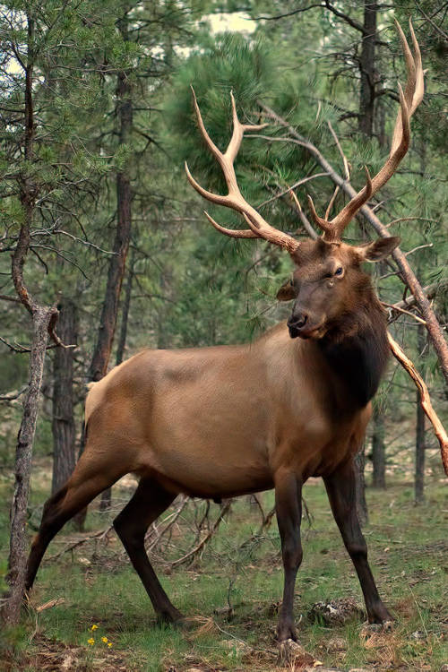Majestic Elk Wow Look At The Rack On This Fellow Ccp
