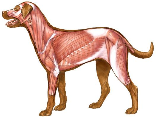 dog-canine-muscles