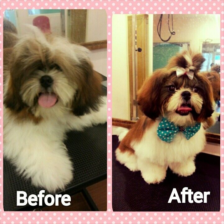 Before And After Of Shihtzu Dog Grooming Animals Dogs