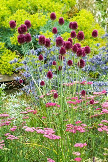 Allium Sphaerocephalon,Drumstick Allium,Drumstick Allium ... Leek Companion Plants