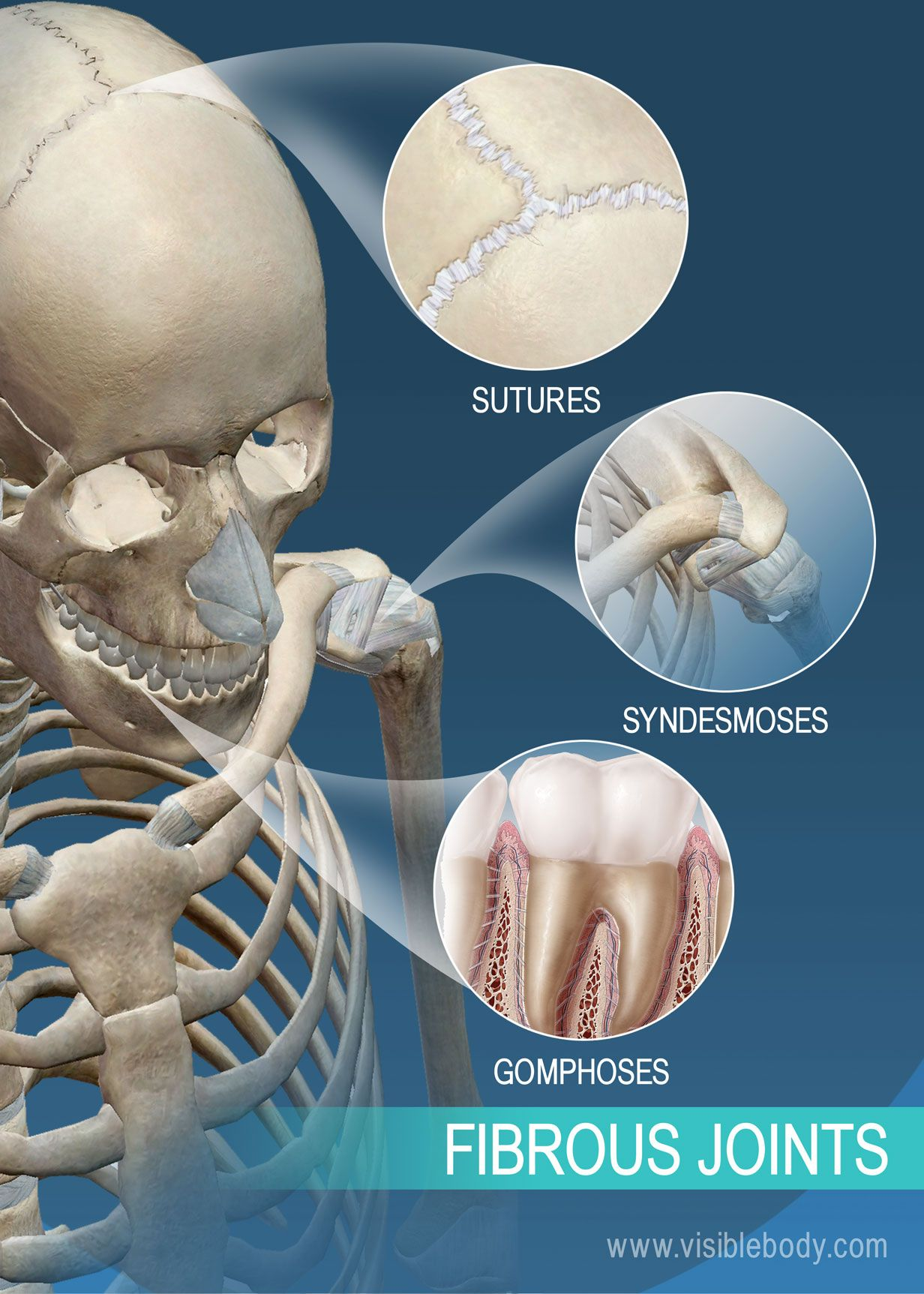 Sutures  syndesmoses  and gomphoses  fibrous joints