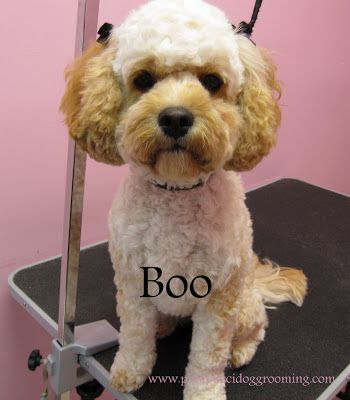 Another cute summer cut for hannah i just love this pinterest torrance best dog grooming shop specializes in japanese dog styling solutioingenieria Choice Image