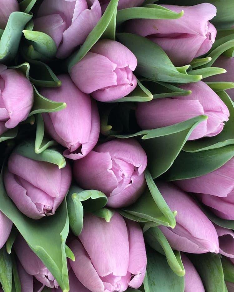 фото сирень и сиреневые тюльпаны