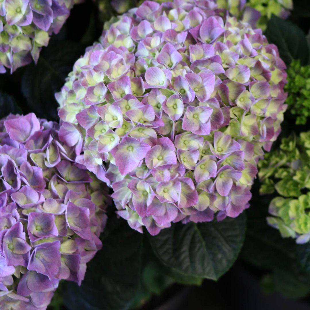 We Have Some Care Tips For Garden Hydrangeas Plant Your Hydrangea In The Spring Give Your Hydrangea Plenty Of Wate Hydrangea Garden Plants Botanical Decor