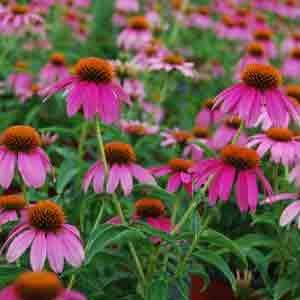 Season by season guide to perennial flowers costa farms plants season by season guide to perennial flowers costa farms mightylinksfo