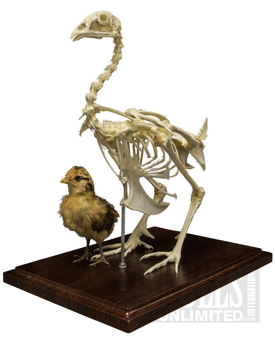 Chicken Skeleton (Articulated) ( )   WSK-320   Birds   Pinterest