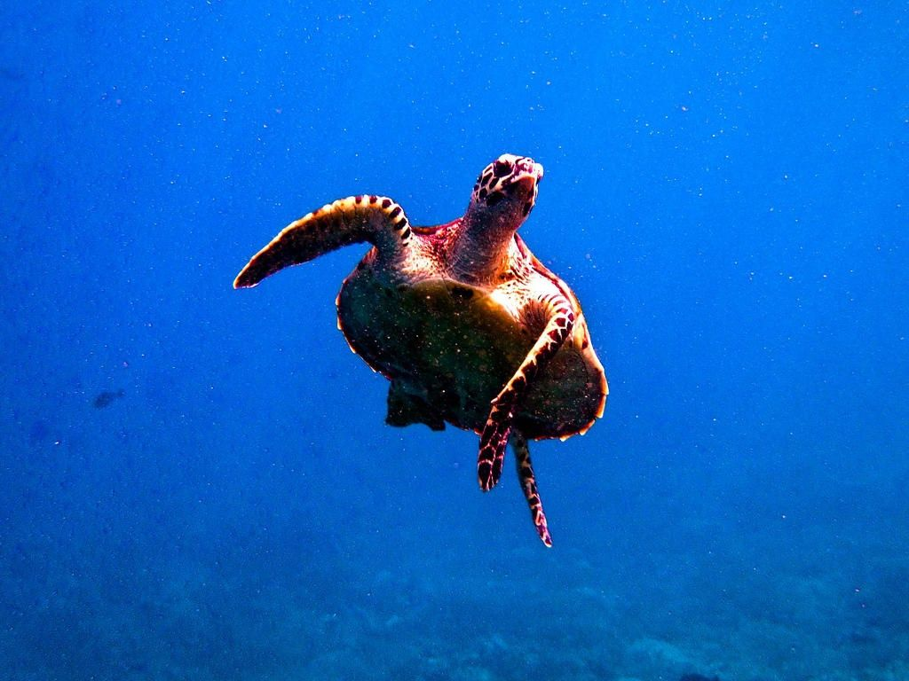 Turtle diving in Indonesia