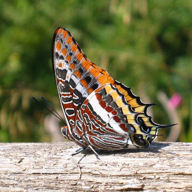 Exotic Butterfly Gallery   Exotic butterfly   Flickr - Photo Sharing!