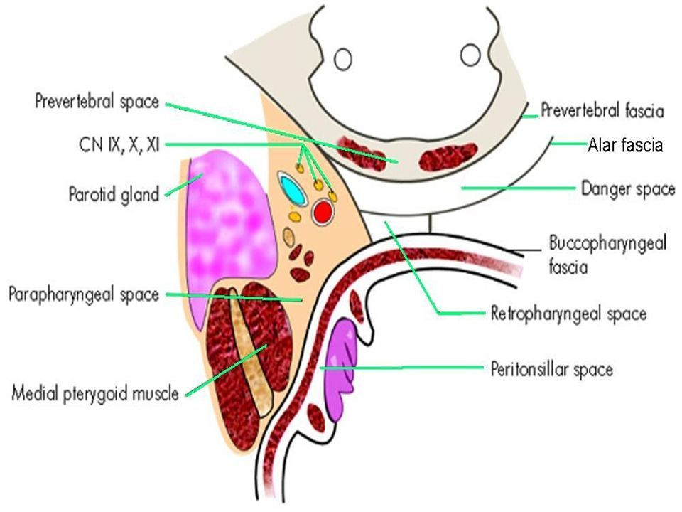 Image result for deep neck spaces | Medical Pharynx | Pinterest ...