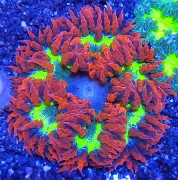 Flower Anemones Are Totally Hot Right Now Anemone Saltwater Aquarium Saltwater Fish Tanks