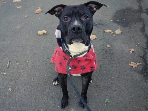 SAFE 1/02/15 (by LIPS) --- Manhattan Center  SLUSHIE - A1020481  MALE, BLACK / WHITE, PIT BULL MIX, 3 yrs STRAY - STRAY WAIT, NO HOLD Reason STRAY  Intake condition UNSPECIFIE Intake Date 11/12/2014, From NY 11238, DueOut Date 11/15/2014,      Main Thread: https://www.facebook.com/photo.php?fbid=905816466097900