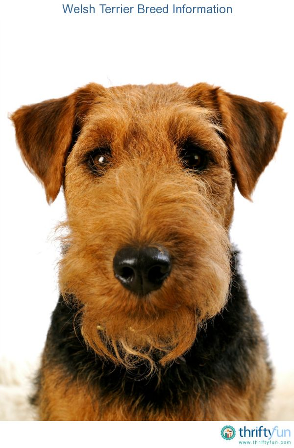 Welsh Terrier Breed Information   Hunde