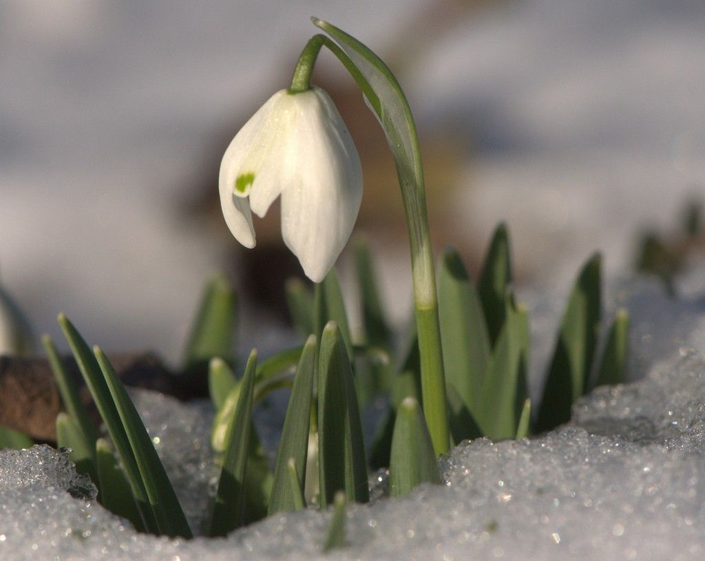 Snowdrop flowers how to plant and care for snowdrops bulbs