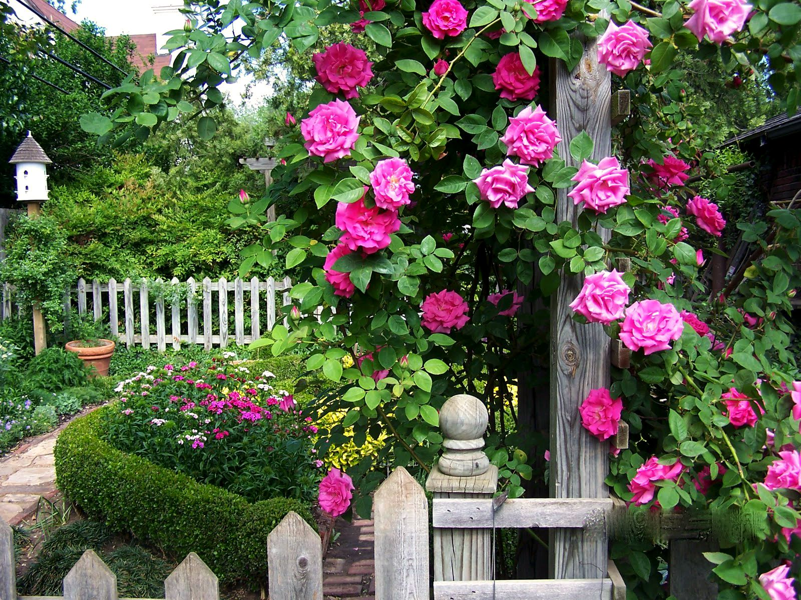 Love Garden Roses: Zephirine Drouhin Climbing Rose, A Bourbon Rose And The