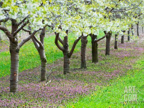 Cherry Tree Orchard (Prunus), Michigan, USA Photographic Print