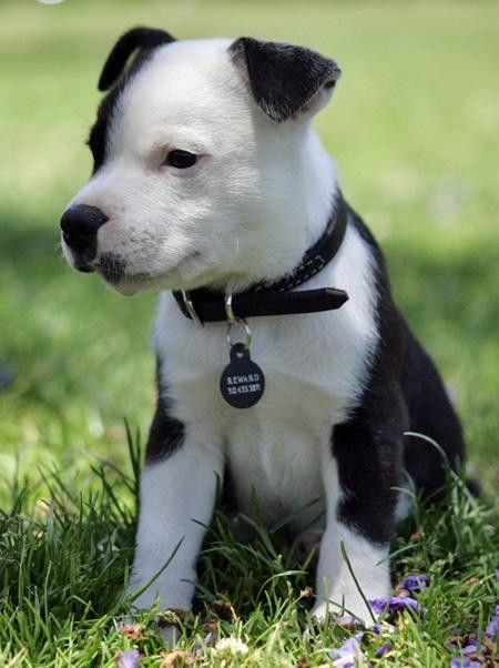 Black And White Staffie Cutie American Staffordshire Terrier