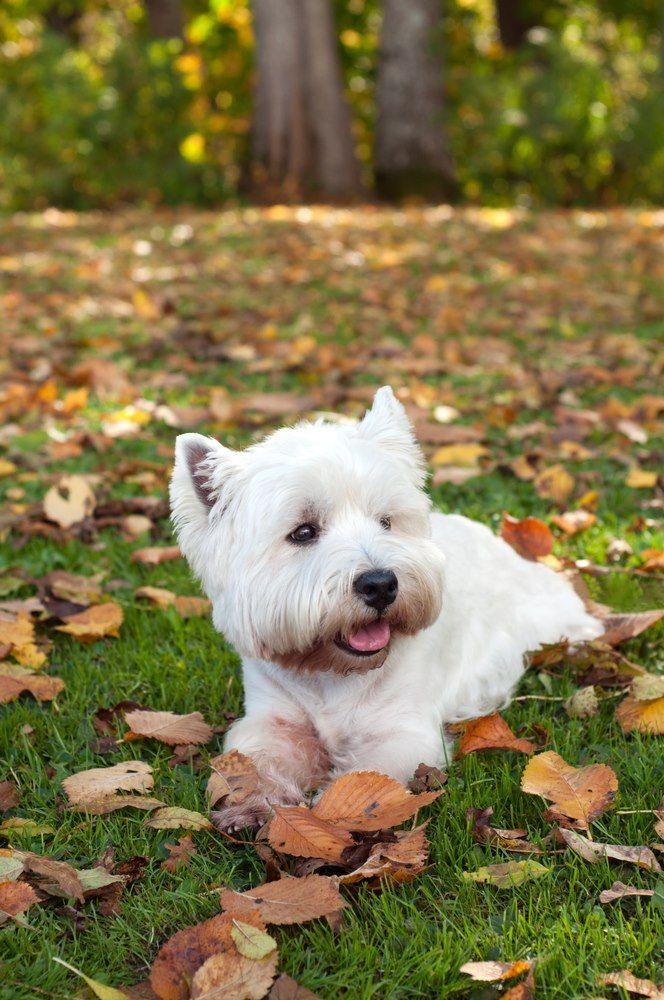 Westie In Fall Westie Puppies White Terrier Westie Dogs