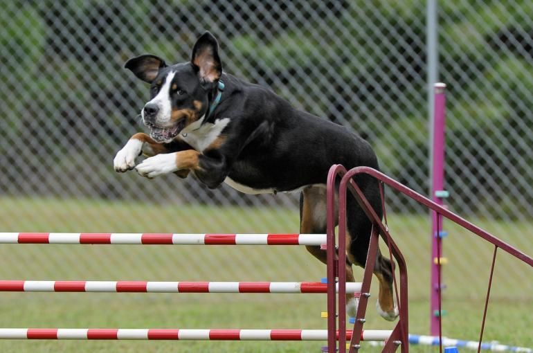 10 Tips to Practice Agility at Home with Your Dog   Dog ...
