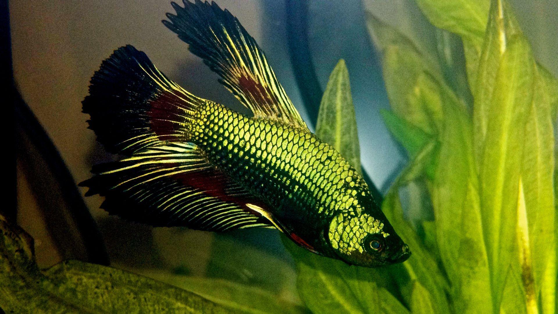 Freshwater aquarium fish that look like saltwater fish - Fish