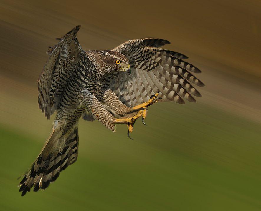 Les urpes del falcó. Halcón. #Animals #Aves