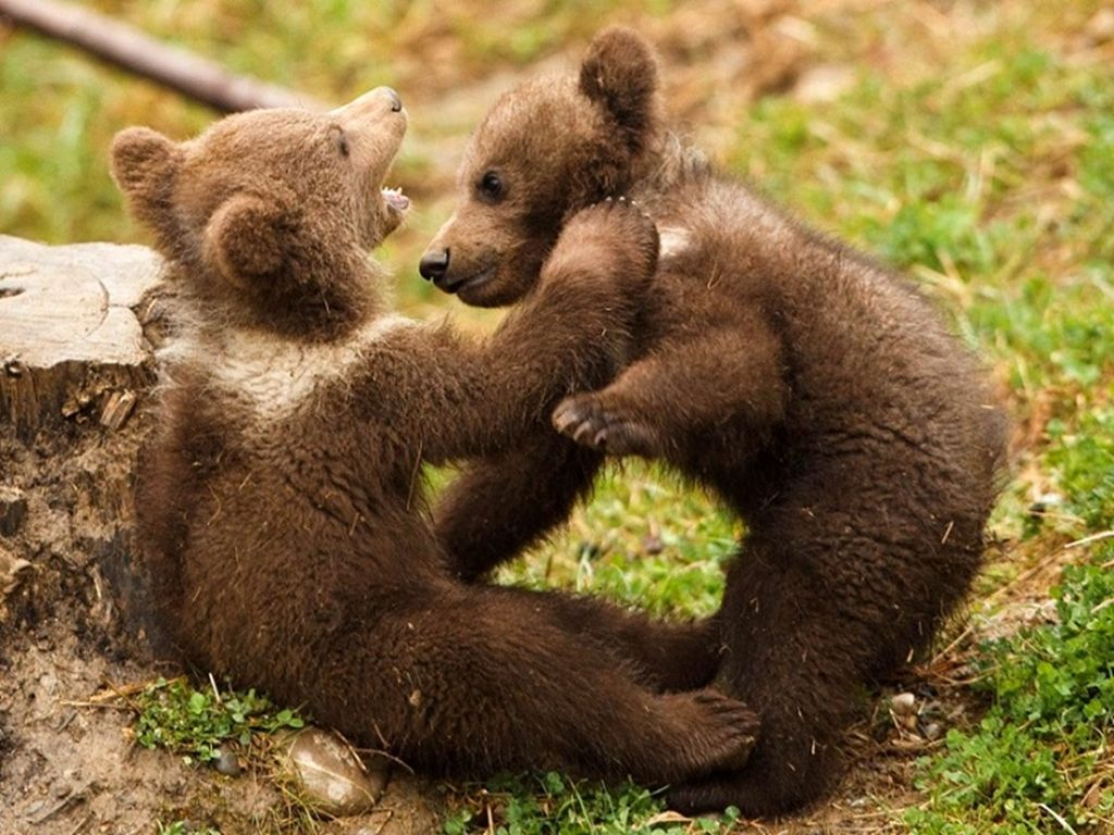 Cute Baby Grizzly Bears