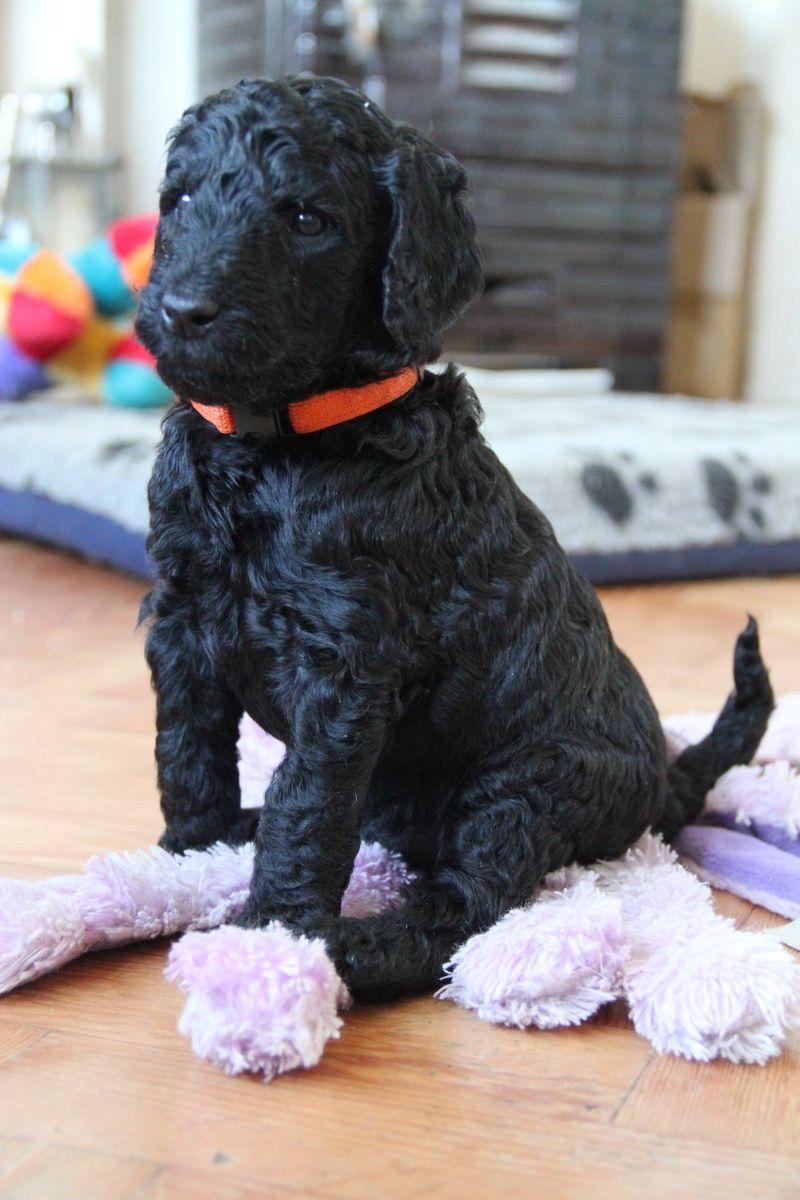 Black Standard Poodle Puppy Www Itzapromise Com Uk Poodle Puppy