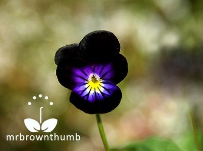 Blackjack Viola how-does-your-garden-grow
