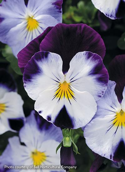 How To Grow Pansies In 2020 Pansies Flowers Flower Landscape Pansies