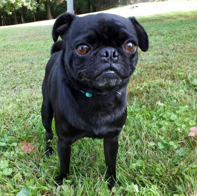 Adopt Pugsly On Morton Grove Pets Pugs
