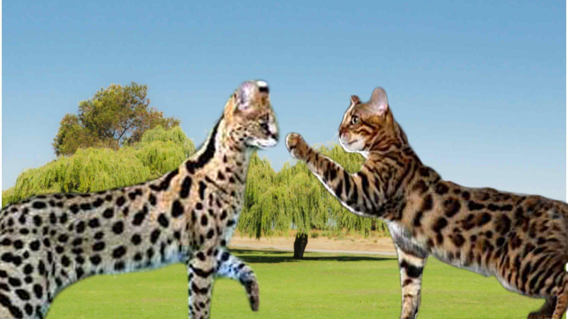 Savannah Cat vs Bengal Cat Understanding The Differences