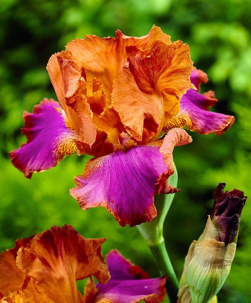 Bearded iris battle star plants from bakker spalding garden buy hardy perennials now bearded iris battle star izmirmasajfo
