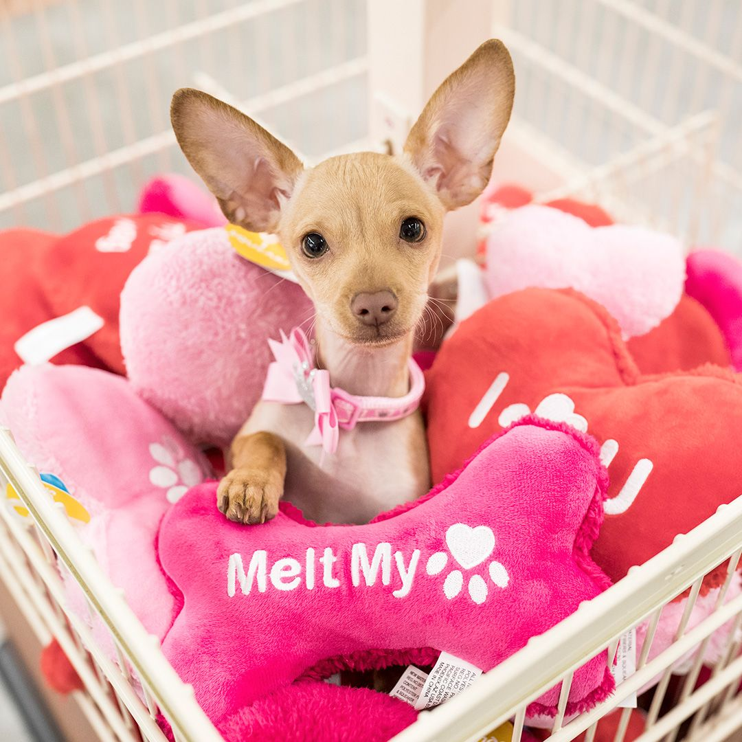 She S The Love Of Your Life Splurge A Little Shop Our Valentine S Products Pets Petsmart Puppy Dog Eyes