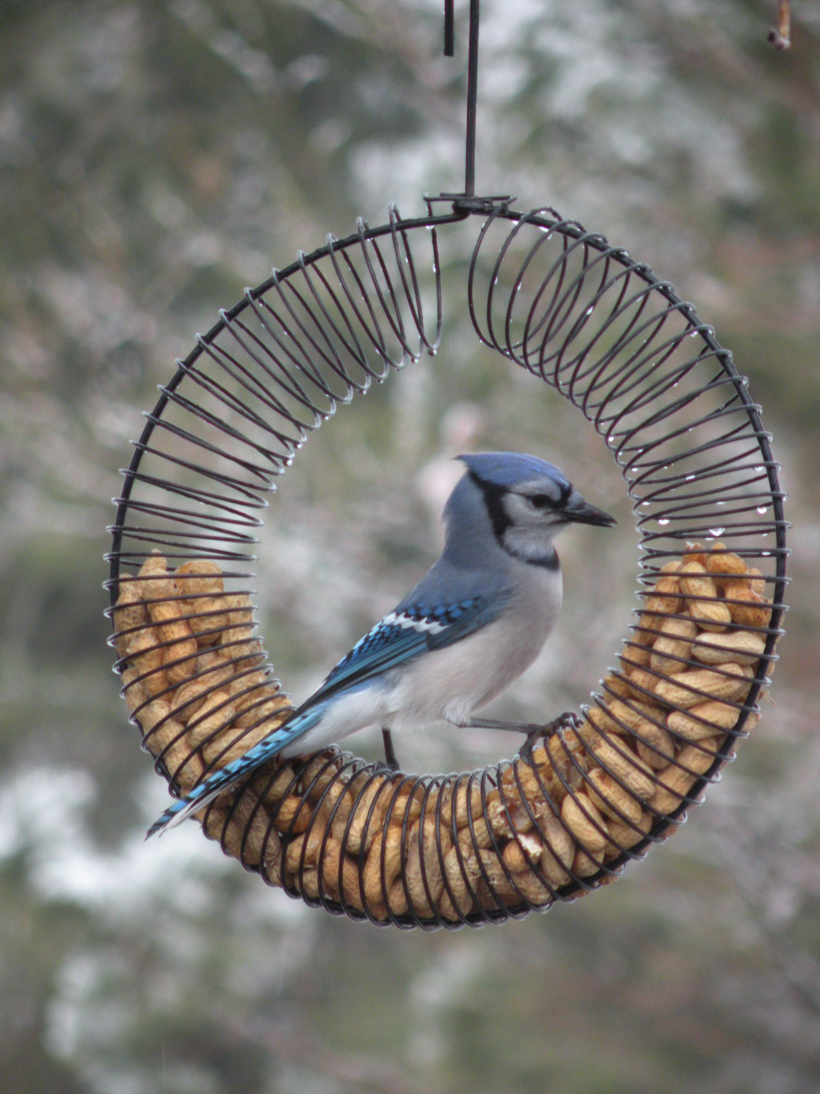 Blue Jay On A Peanut Feeder New Brunswick Canada Pretty Birds Blue Jay Lovely Creatures