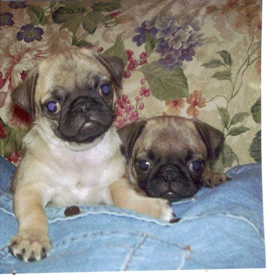My Two Pugs Sadie And Sophie At About Two Months Old Jgp The