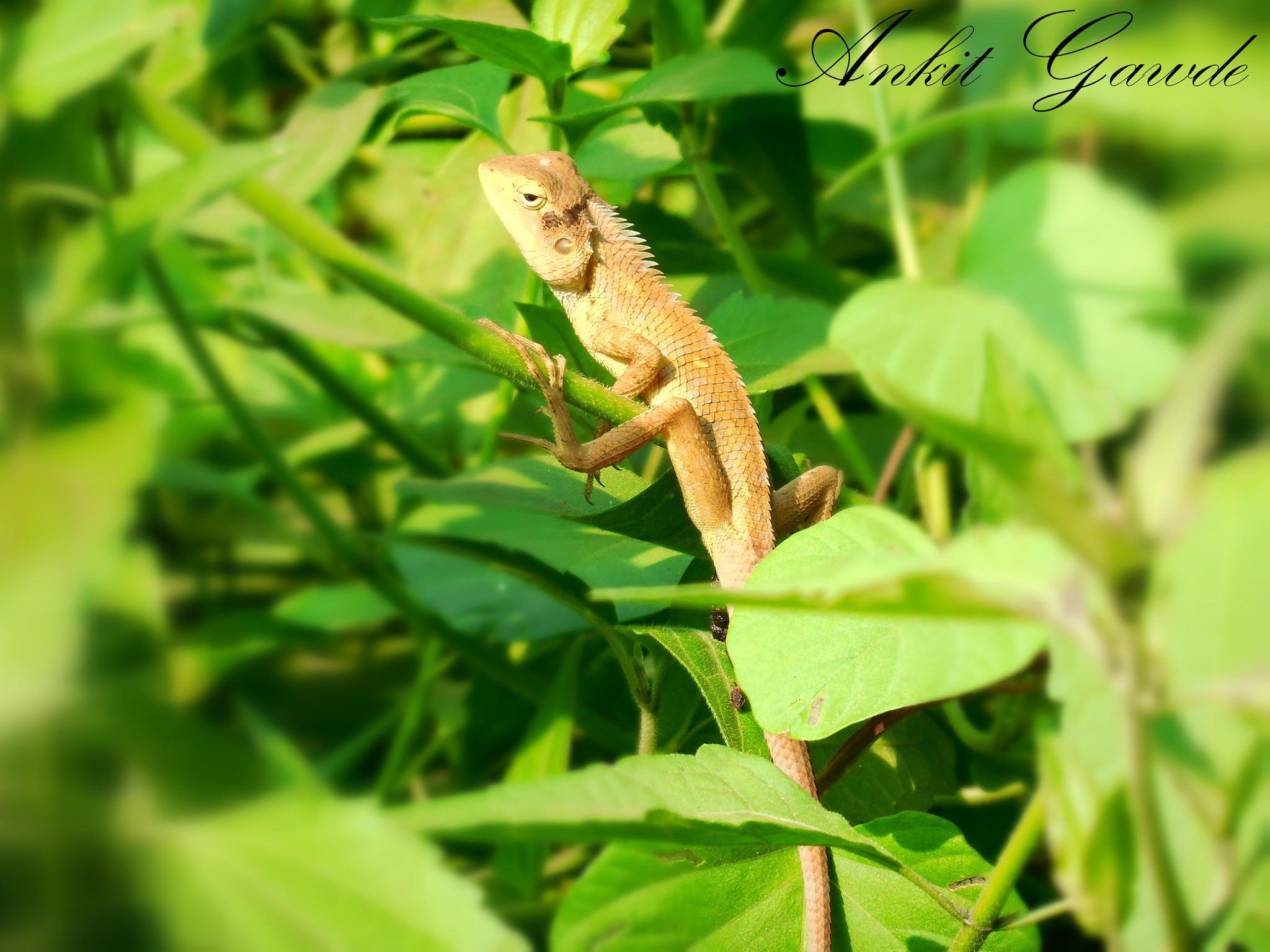 Calotes versicolor Oriental garden lizard Lizard