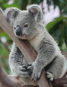Deze koala heeft een mooi uitzicht daarboven in een tak!
