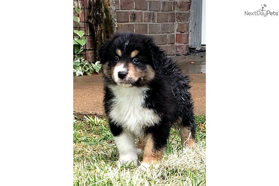 Max Australian Shepherd Puppy For Sale Near Dallas Fort Worth