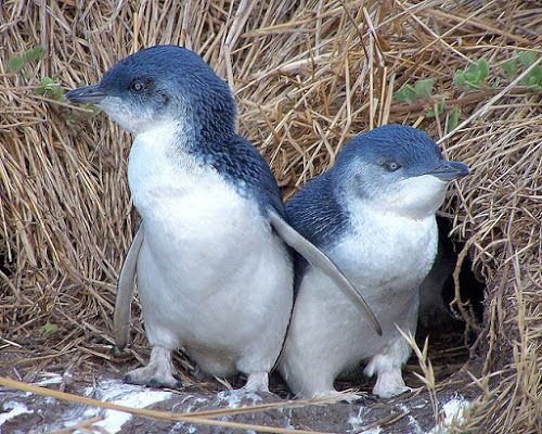 17 Adorable Penguin Species ~ Little Penguin
