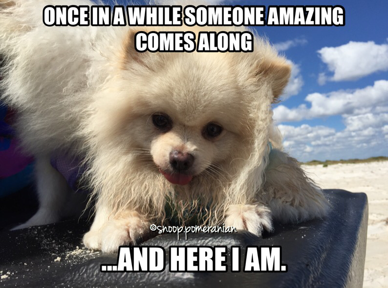 pomeranian meme snoop cute Pomeranian facts