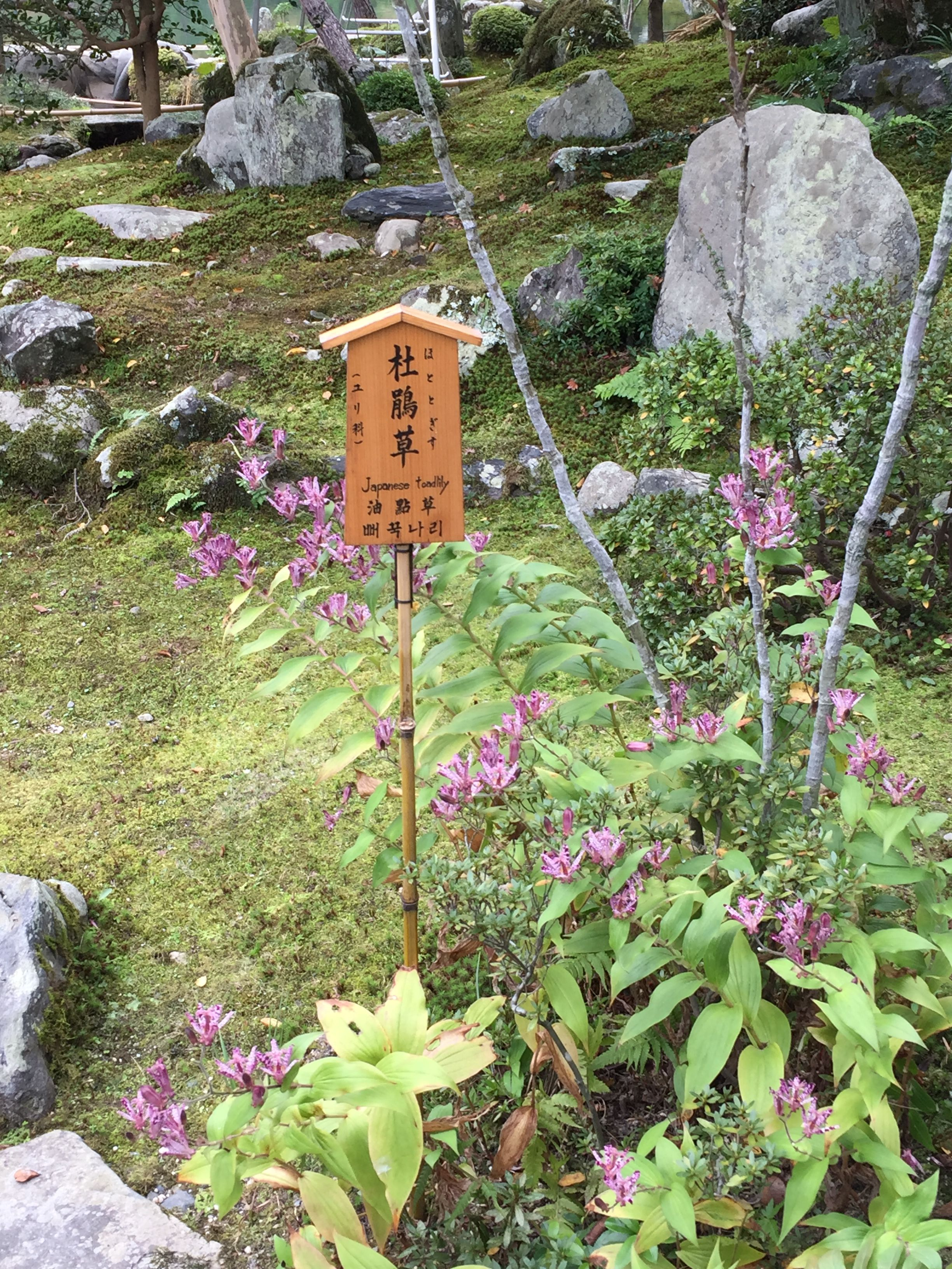 Japanese toad lily flowers gardens pinterest lilies flowers japanese toad lily flowers izmirmasajfo