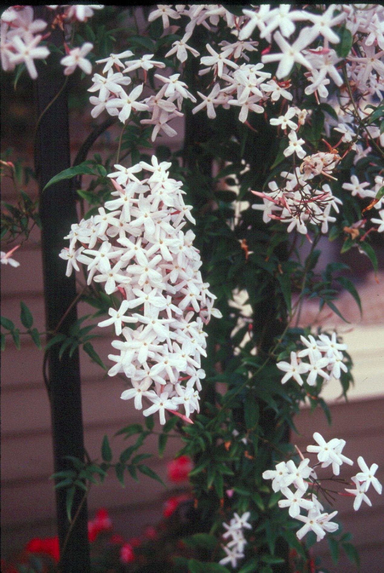 Climbing Vine Trellis Ideas Part - 47: Jasminum Polyanthum Very Fragrant Vine For Climbing The Wall/trellis