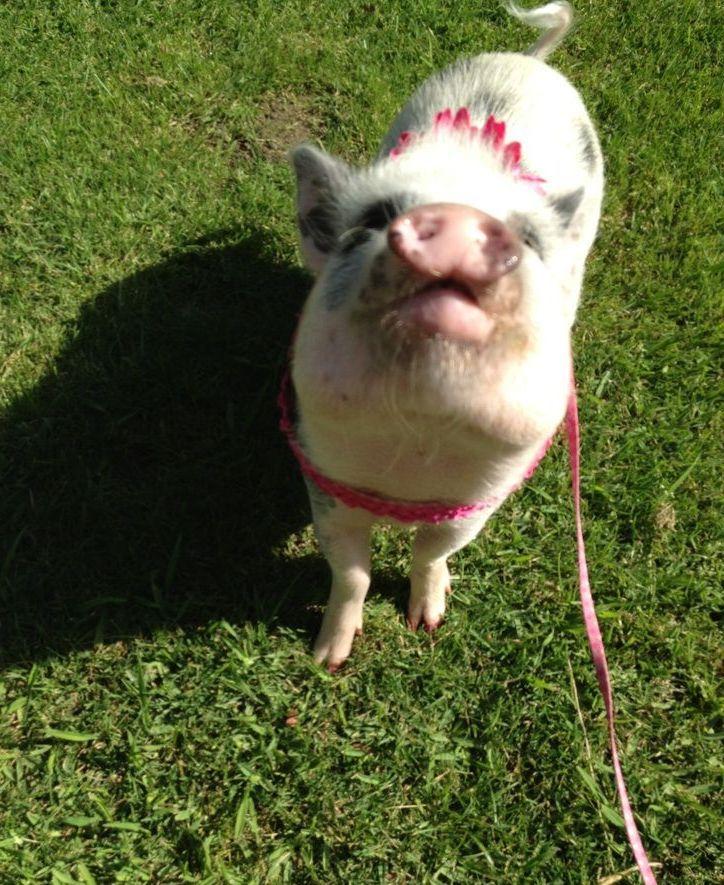 Pocket+Nano+Pigs+Full-Grown | micro mini pocket nano pig ...