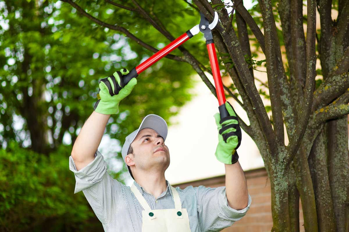 How To Prune Knockout Roses Tree care, Tree pruning