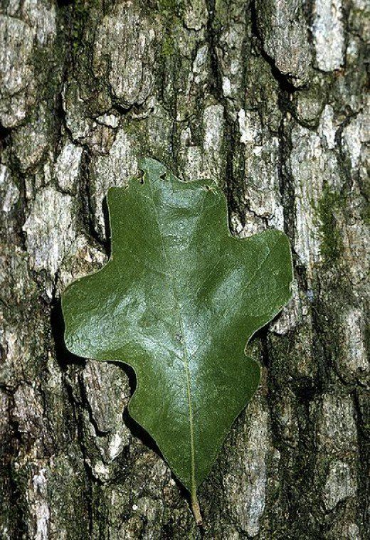 Common Types Of Oak Trees With Bark Photos For Identification Tree Identification Oak Leaf Identification Tree Leaf Identification