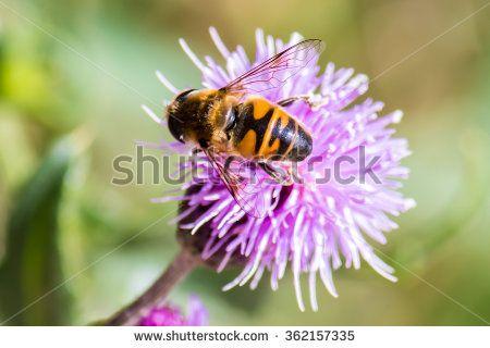 #closeup #honeybee #nature #flower #wild #animal
