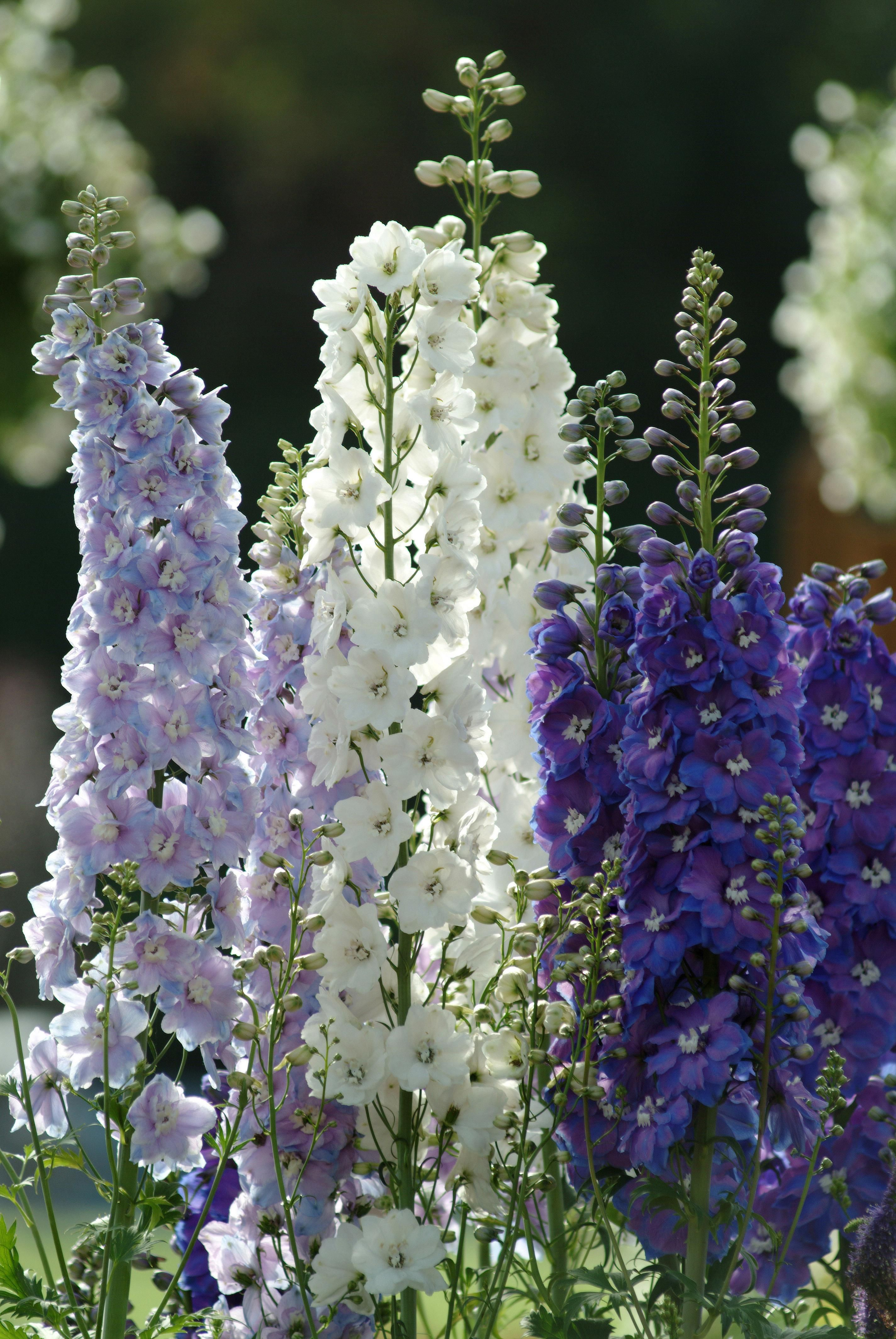 Power Flowers Delphinium Tea And Flowers Are Sweet