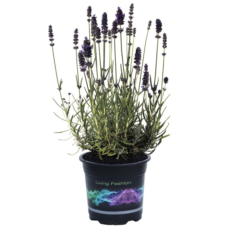 how to grow lavender from seeds in india