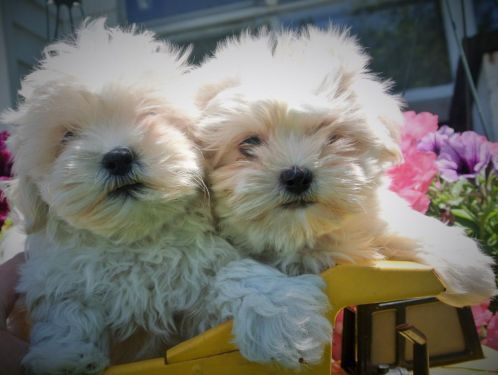 Tiny Maltese Shih Tzu Puppies Hypoallergenic Maltese Shih Tzu Shih Tzu Puppy Puppies