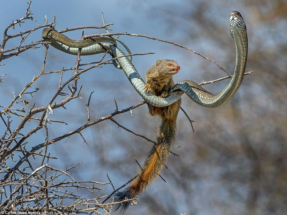 Nature Is Scary Natureisscary Twitter Mongoose Vs Snake Carnivorous Animals Animals